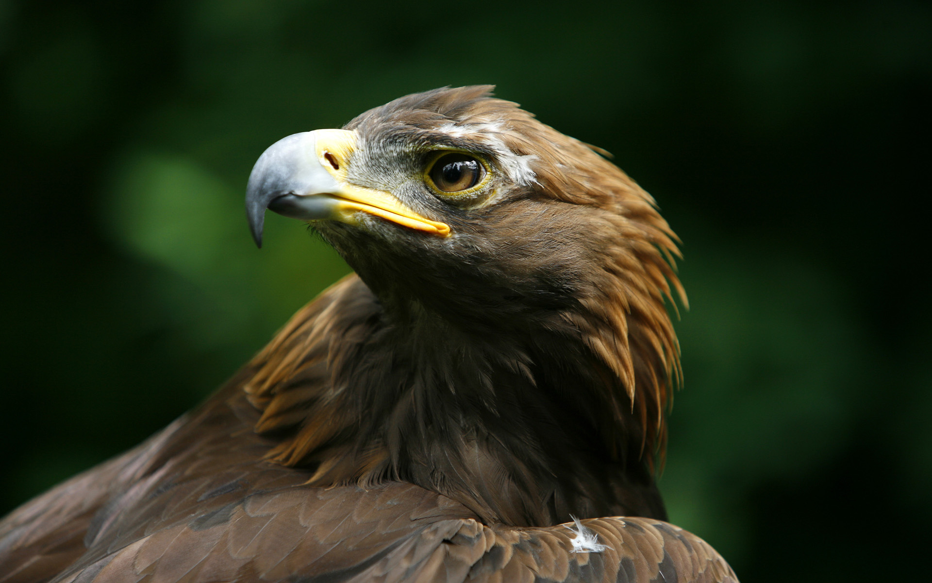 Golden eagle wallpaper 624223 Pictures of birds